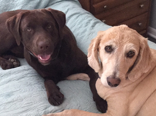 A chocolate lab next to a blonde dog on a blue bedspread