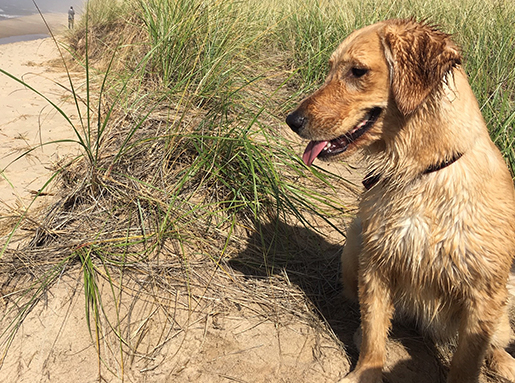 A yellow retriever standing next to tall grass on a beach