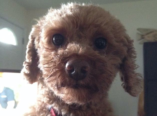 Tan Miniature Poodle close-up