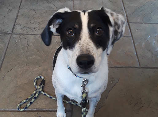 A black and white dog sitting still for a photo while wearing a black and white plaid leash