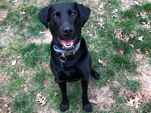 A black lab sitting at attention on grass for a photo