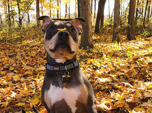 A white and grey boxer mix sitting in an autumn woodscape with a yellow Maple leaf on its nose
