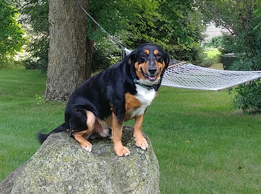 A black and tan long-hair dog with a white chest sitting on a large rock