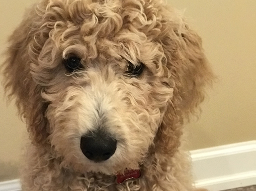 A Goldendoodle sitting in front of a beige wall