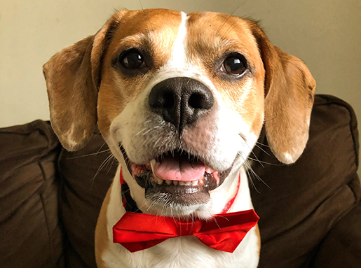 A tan and white dog wearing a red bow tie sitting on a brown couch