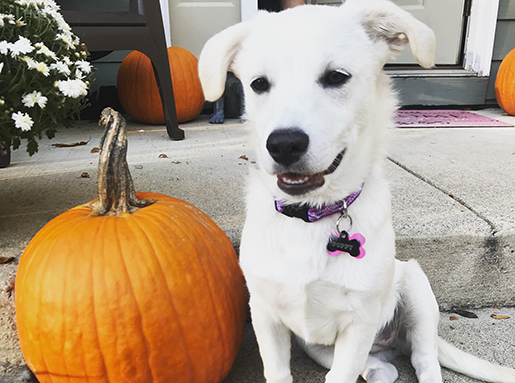 A white dog sitting next to a pumpkin on a front stoop