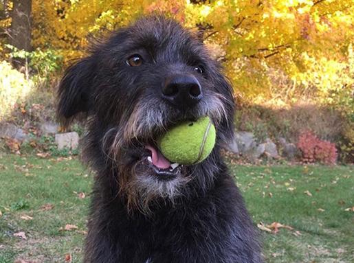 A large terrier breed dog with black fur and a grey beard chewing on a tennis ball