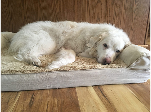 A white long hair dog laying on a dog bed in front of a wall