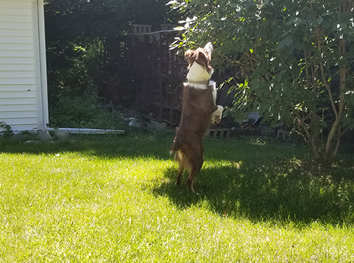 A brown and white dog standing on its hind legs inspecting a small tree