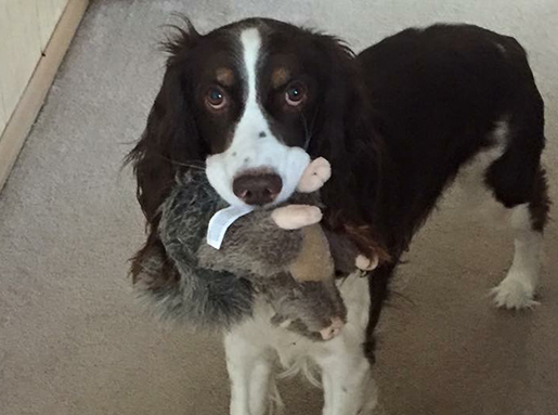 A black and white springer spaniel with a stuffed animal squirrel in its mouth