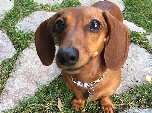 A brown Dachshund standing on stone pavers and grass