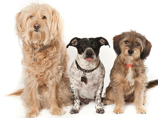 A yellow long haired dog next to a black and white speckled short hair dog next to a tan and grey long hair dog