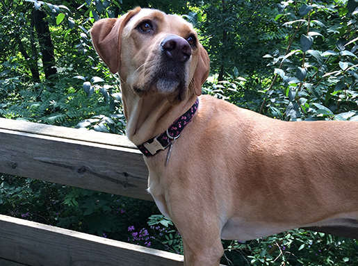Yellow Lab mix standing in front of a wooden rail in a wooded area