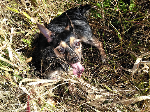 Black and tan chihuahua laying in some tall grass