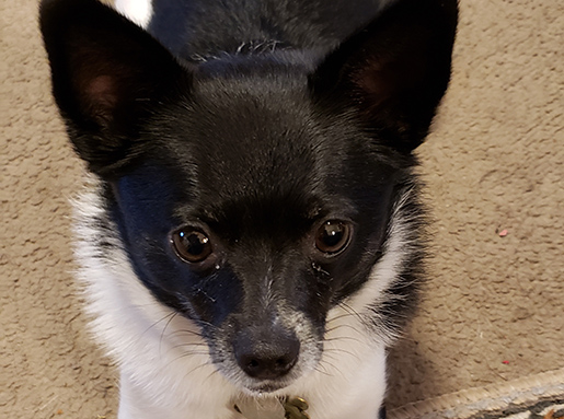 Black and white chihuahua on beige carpet