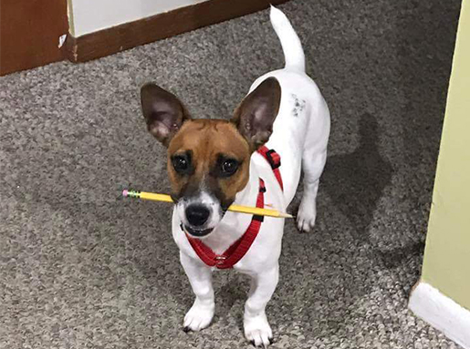 A small rat terrier with white body and brown head holding a pencil in its mouth
