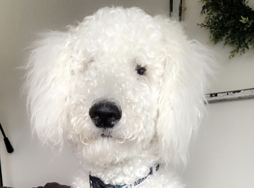 White poodle with closed mouth in front of a white wall