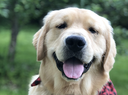 A happy looking Golden Retriever with a red and black bandana around its neck