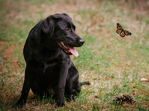 A black labrador retriever sitting on grass next to pine cone and an in-flight butterfly