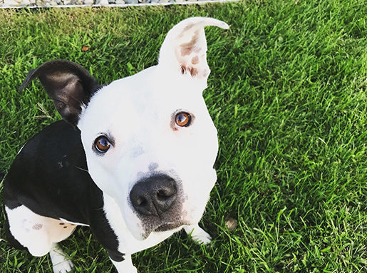 Black and white pitbull mix sitting on grass looking up at the camera