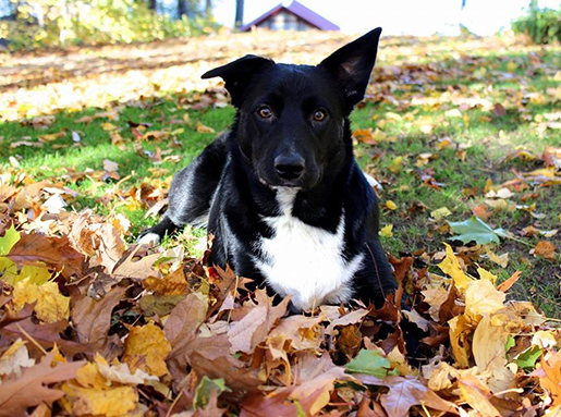 A black dog with white belly laying in fallen leaves on a sunny autumn day
