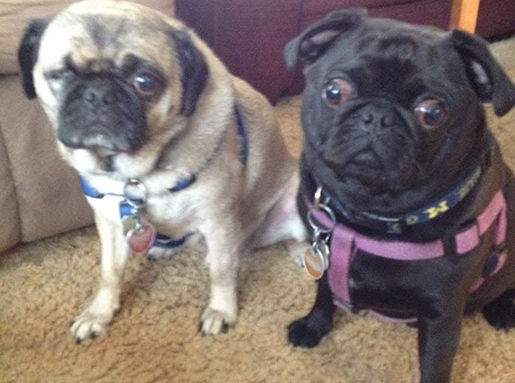 One tan Pug and one black Pug side-by-side on beige carpet