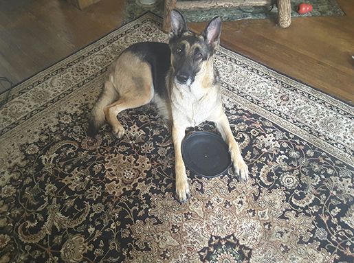 A German Shepherd laying on a Persian rug with a black frisbee