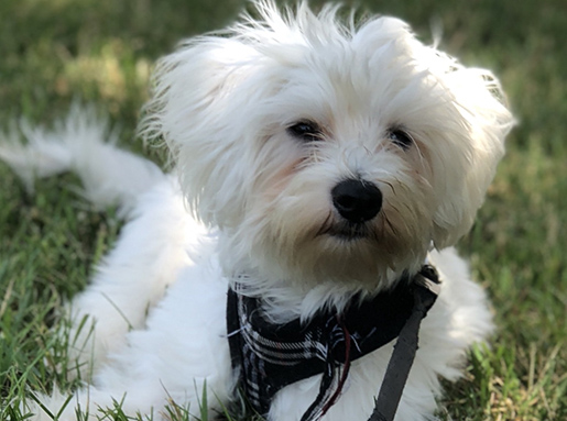 A white fluffy dog with a black plaid collar laying in green grass