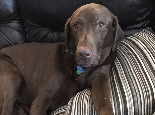 A Chocolate Lab laying on a striped throw pillow on a black leather sofa