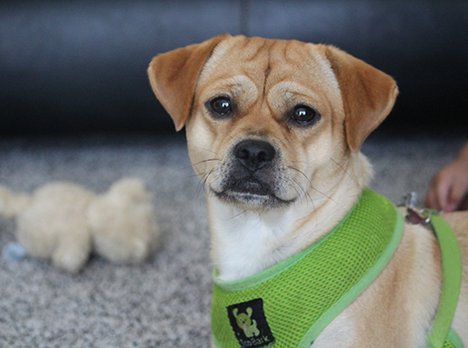 Small yellow dog with a bright green halter collar on