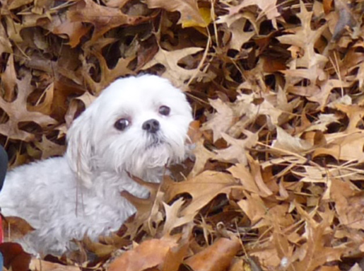 Fluffy white dog in a big pile brown fallen leaves