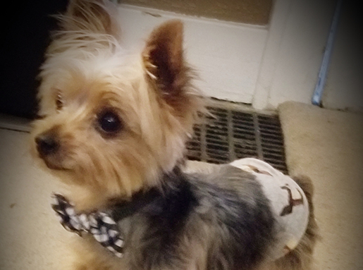Light brown Yorkshire Terrier wearing a black and white plaid bowtie