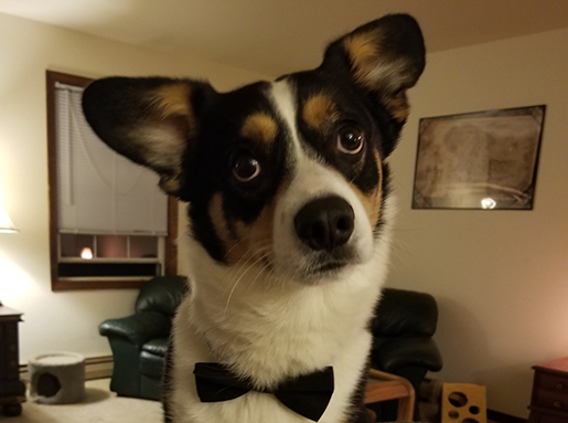 Black and tan dog with a white snout and chest wearing a black bowtie