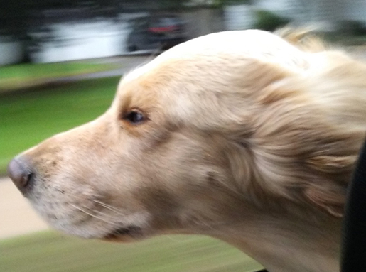 A light tan dog with its head sticking out of a window of a moving car with wind blowing in the wind