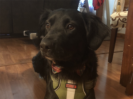 A black dog wearing a red and green plaid bowtie and a green halter