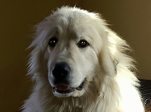 A white fluffy dog posing for a portrait