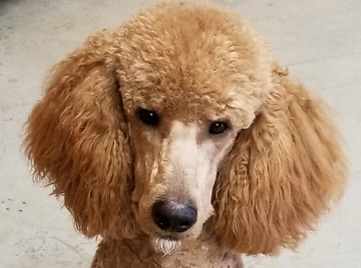 A tan poodle with fluffy head and ears