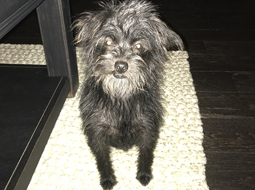A small, black long-haired dog