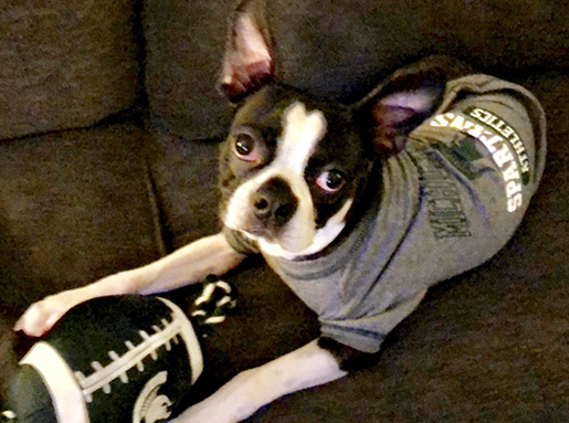 A Boston Terrier wearing a grey Michigan State shirt posing with a football with a MSU logo