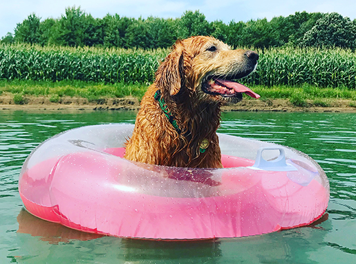 Golden Retriever with a pink floating device in a pond
