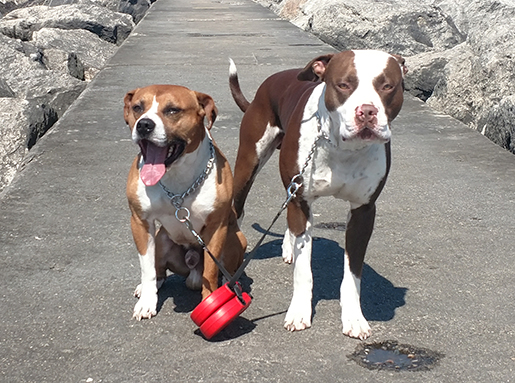 Two Pitbulls attached at retractable leashes on a sunny day