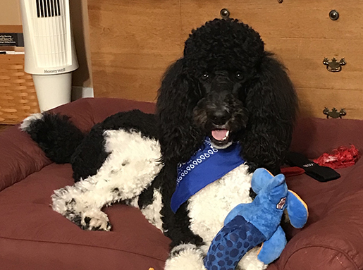 A black and white poodle with a blue handkerchief around its neck sitting on a maroon dog bed