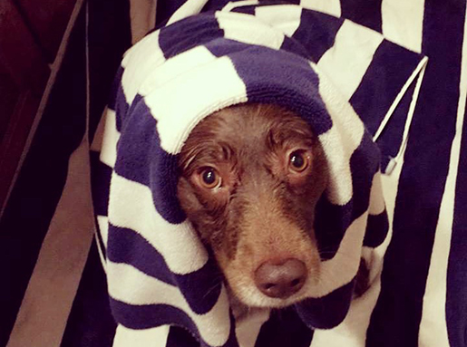 A chocolate lab wrapped in a purple and white towel