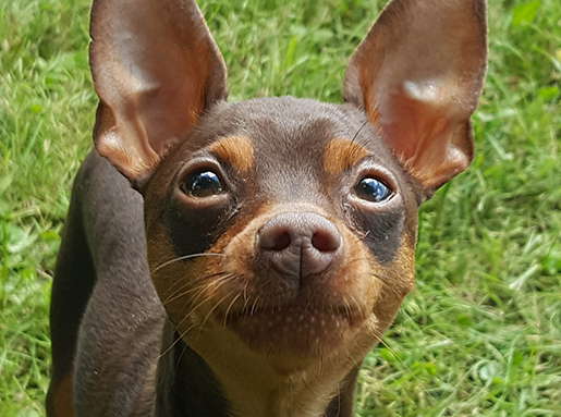 Black and tan chihuahua on a sunny patch of grass