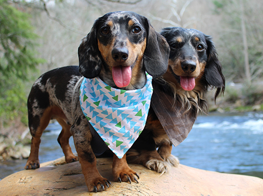 Two dachshunds wearing neckerchiefs on a rock next to water