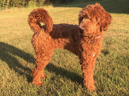 An orange brown poodle in the sunshine
