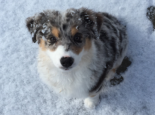 A small grey, white, and brown dog with black spots sitting in fresh snow