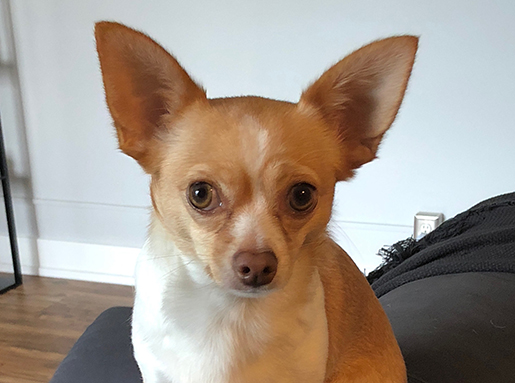 Light brown chihuahua with a white chest