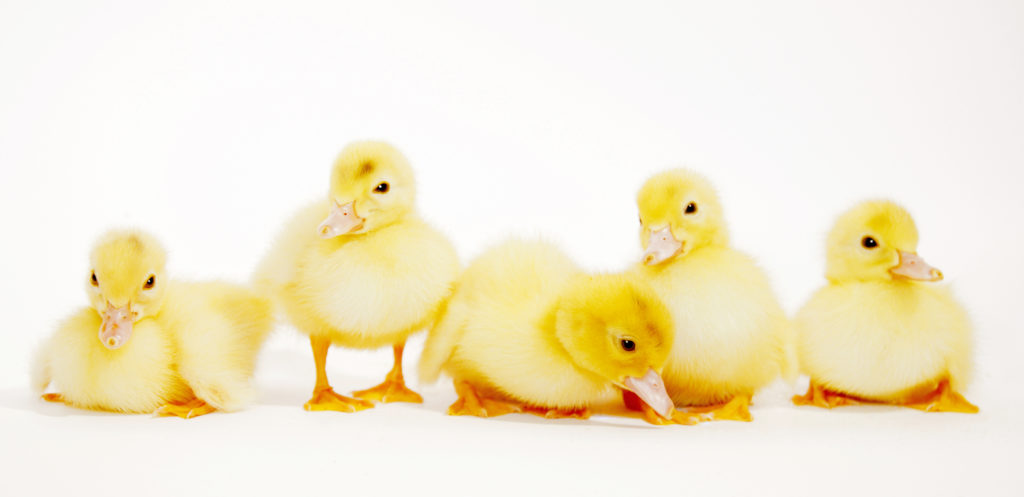 Five yellow baby ducks