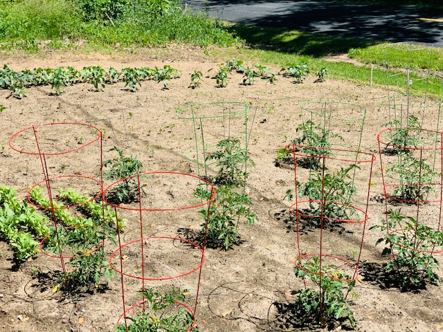Vegetable garden with tomato plants in cages